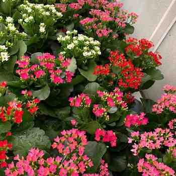 Succulenta - KALANCHOE blossfeldiana