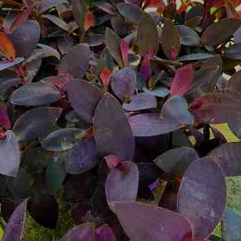 Erbacea - TRADESCANTIA pallida Purpurea in vendita