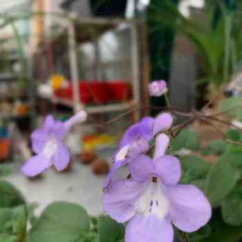 STREPTOCARPUS saxorum     in vendita