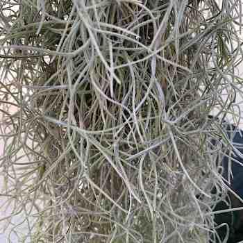 Epifita - TILLANDSIA usneoides in vendita