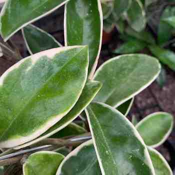 Rampicante - HOYA australis Variegata FIORE di CERA  in vendita