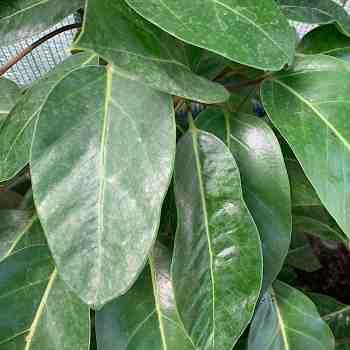 Arbusto - SCHEFFLERA actinophylla sin. BRASSAIA in vendita