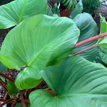 Arbusto - HOMALOMENA Maggy in vendita