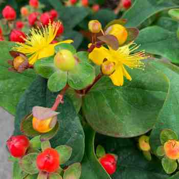 HYPERICUM inodorum Magical Red in vendita