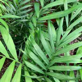 Palma - CHAMAEDOREA elegans PALMA della FORTUNA in vendita