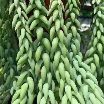 Succulenta - SEDUM morganianum in vendita