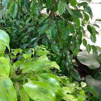 Arbusto - FICUS benjamina