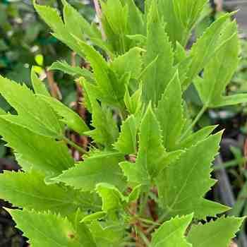 Arbusto - PELARGONIUM tricuspidatum in vendita