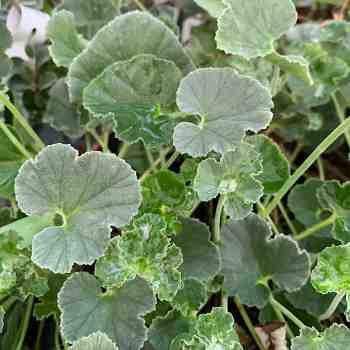 Arbusto - PELARGONIUM reniforme