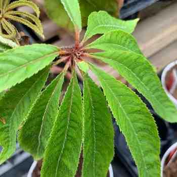 Arbusto - BEGONIA luxurians in vendita