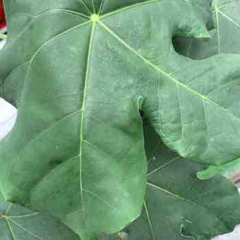 Arbusto - JATROPHA podagrica