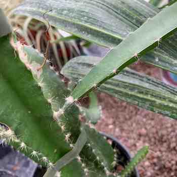 Succulenta - HYLOCEREUS undatus PITAYA  in vendita