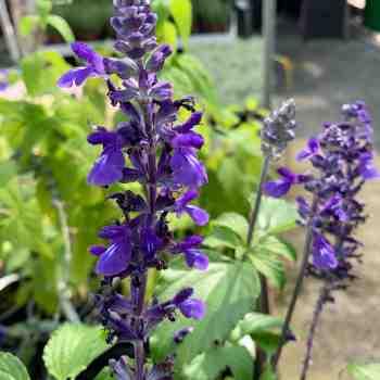 Arbusto - SALVIA Mystic Spires Blue in vendita