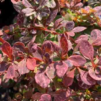 BERBERIS thunbergii Rose Glow in vendita