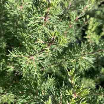 Arbusto - GREVILLEA juniperina in vendita
