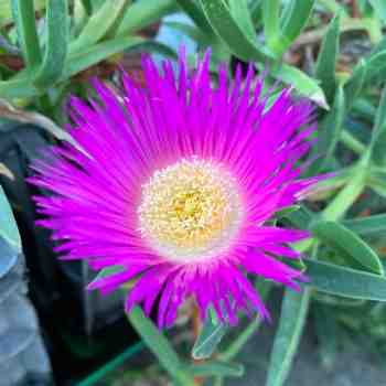 Succulenta - CARPOBROTUS acinaciformis FICO AFRICANO in vendita