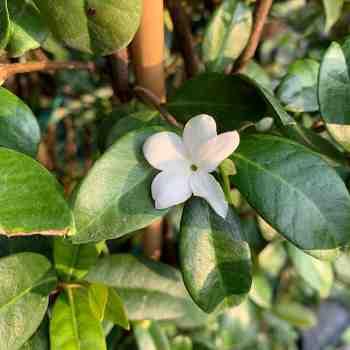 Rampicante - TRACHELOSPERMUM jasminoides          in vendita