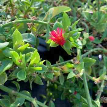 APTENIA cordifolia in vendita