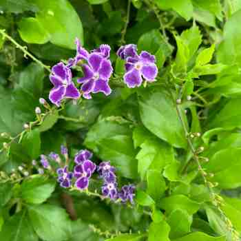 DURANTA repens Geisha Girl in vendita