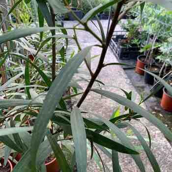 Albero o Alberello - ACACIA longifolia BEGA D' ORO in vendita