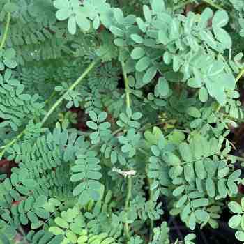 Albero o Alberello - ACACIA spectabilis