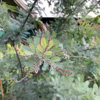 Albero o Alberello - ACACIA baileyana Purpurea in vendita