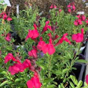 Arbusto - SALVIA greggi Arctic Blaze Fuchsia