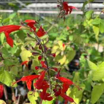 Arbusto - SALVIA coccinea Lady in Red in vendita