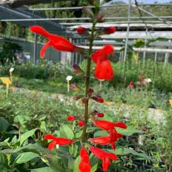 Arbusto - SALVIA miniata         in vendita