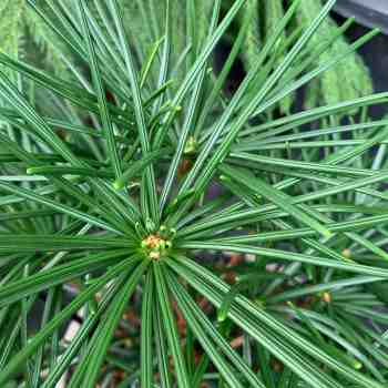 Conifera - SCIADOPITYS verticillata in vendita