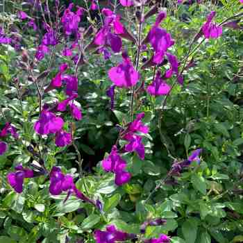 SALVIA microphylla Purple Lady in vendita