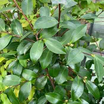 Arbusto - CAMELLIA sasanqua
