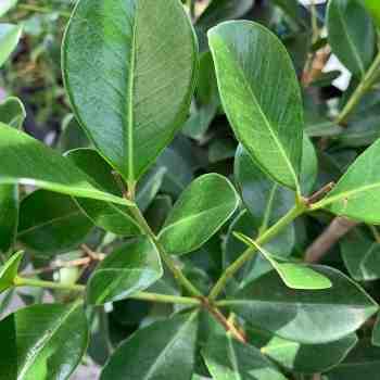 Arbusto - PSIDIUM cattleianum sin. P. littorale in vendita
