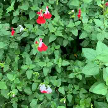 Arbusto - SALVIA microphylla Hot Lips in vendita