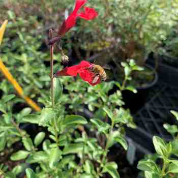 SALVIA x jamensis Flammen