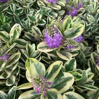 Arbusto - HEBE andersonii Variegata in vendita