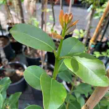 Arbusto - PSIDIUM cattleianum Lucidum in vendita