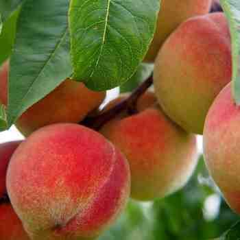 Albero o Alberello - PRUNUS persica Regina di Londa PESCO B 1/9 A