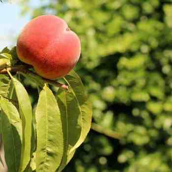 Albero o Alberello - PRUNUS persica Sanguinella PESCO R 10/8 A