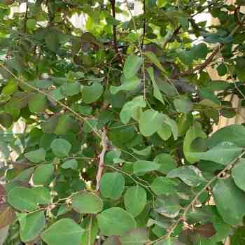 Arbusto - BREYNIA nivosa Roseo-picta