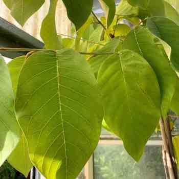 Arbusto - ANNONA cherimola in vendita