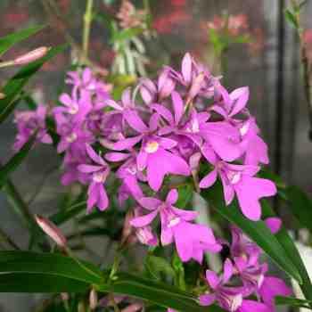 Orchidea - EPIDENDRUM centropetalum in vendita