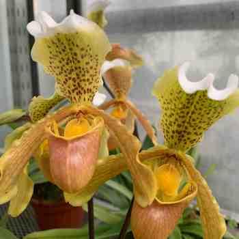 Orchidea - PAPHIOPEDILUM insigne SCARPETTA di VENERE