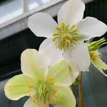 Erbacea - HELLEBORUS niger ROSA di NATALE in vendita