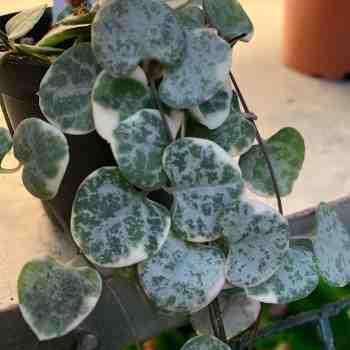 Succulenta - CEROPEGIA linearis woodii Variegata