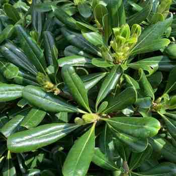 Arbusto - PITTOSPORUM tobira                in vendita
